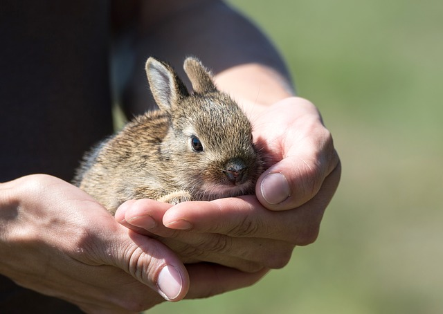 Jak przewieźć królika?