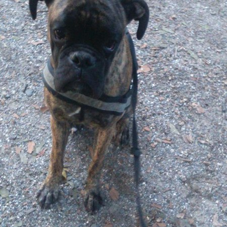 Dog (boxer, 1.5 years old, )