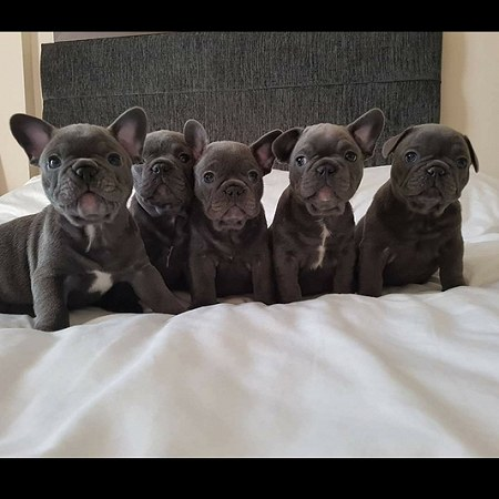 1 French bulldog